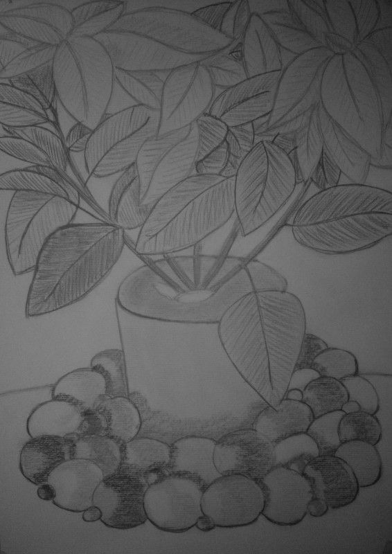 the drawing of poinsettia